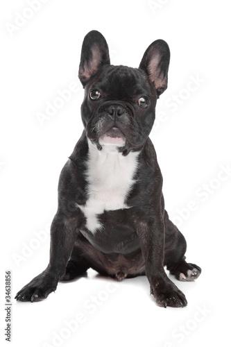 Tuinposter Franse bulldog Black and white French Bulldog