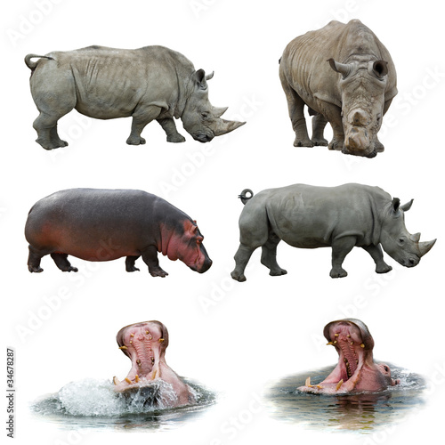 Poster Rhino Collection of hippos and rhinos