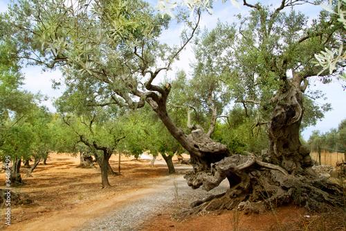 Tuinposter Olijfboom centennial olive trees from Mediterranean Mallorca