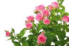 Bush With Pink Roses And Green...