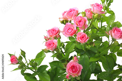 Foto  Bush with pink roses and green leafes