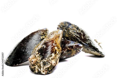 Valokuvatapetti blue mussel bivalve