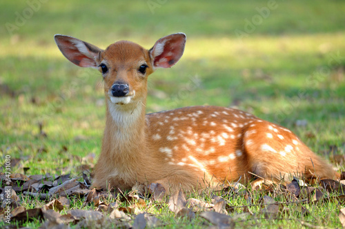 young deer Canvas Print