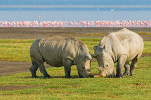 Rhinos In Lake Nakuru National...