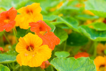 キンレンカの花