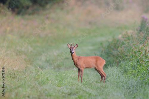 Staande foto Ree Reh, Roe deer, Capreolus capreolus