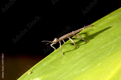 Photo  thorn stick insect