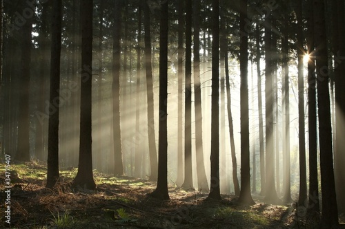 Foto auf Acrylglas Wald im Nebel Pine trees lit by the morning sun on a foggy autumn day