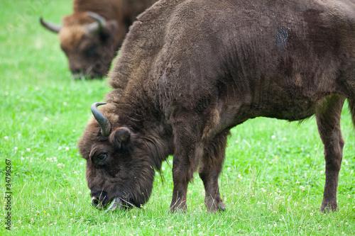 Vászonkép  bisons eating grass