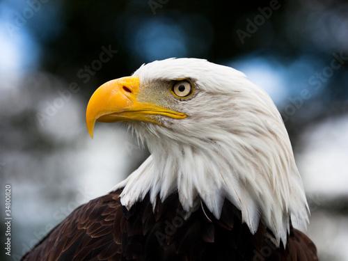 Foto op Aluminium Eagle Eagle