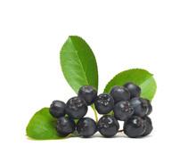 Black Chokeberry, Aronia Melan...