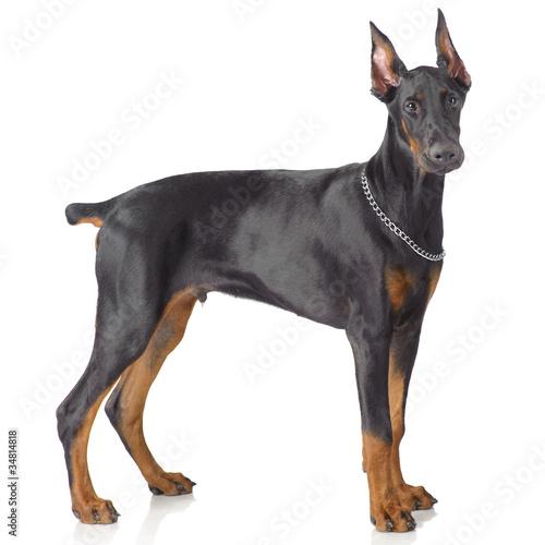 Obraz na plátně Puppy od doberman standing