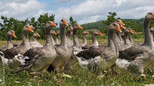 troupeau d' oies Fototapet