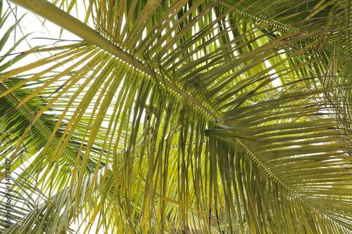 Fotografiet  foglie di palma intrecciate