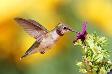 Fototapeta na wymiar Juvenile Ruby-throated Hummingbird (archilochus colubris)