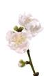 Spring cherry blossom sakura