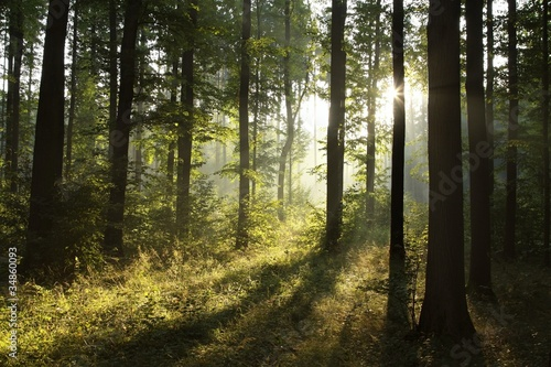 Foto auf Acrylglas Wald im Nebel Landscape of deciduous forest on a foggy spring morning