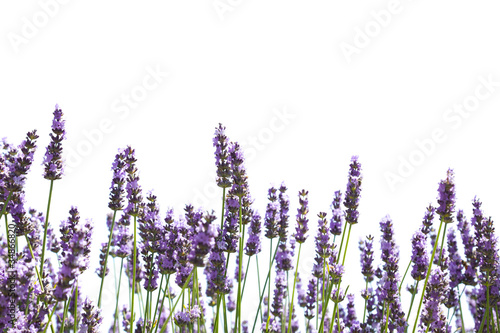 Foto op Canvas Lavendel Purple lavender flowers
