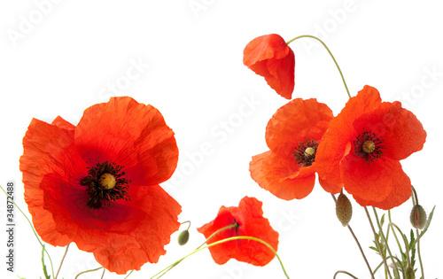 Foto op Plexiglas Poppy Papaveri su sfondo bianco