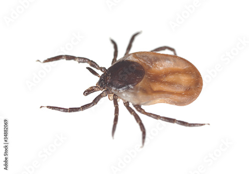 Photo Tick isolated on white background, extreme close up