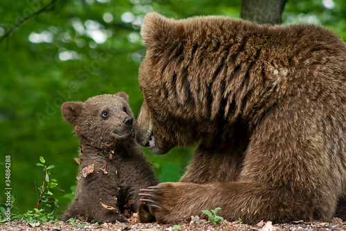 Fotografie, Obraz Brown bear and cub