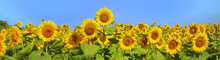 Wonderful Panoramic View Field Of Sunflowers By Summertime