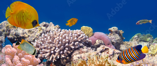 Poster Sous-marin Underwater panorama with Masked Butterfly Fish. Red Sea, Egypt