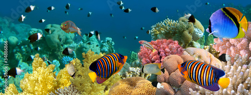 Tuinposter Koraalriffen Underwater panorama with Angel fish, coral reef and fishes. Red