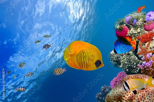 zamaskowana-ryba-motylkowa-chaetodon-semilarvatus