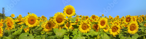 Foto op Canvas Zonnebloem Wonderful panoramic view field of sunflowers by summertime
