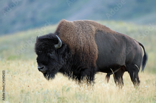 Spoed Foto op Canvas Bison Plains Bison - Waterton Lakes National Park, Alberta