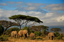 Elephant Family In Front Of Mt. Kilimanjaro