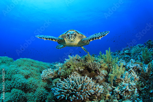 Poster Tortue Hawksbill Sea Turtle and Coral Reef