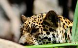Fototapeta Sawanna - Przyczajona pantera