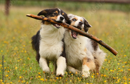 2 Aussies am Stock Fototapete