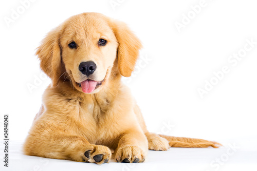 dogs similar to golden retriever cute young golden retriever dog buy this stock photo and 8829
