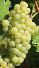 Naklejka grappe de raisin blanc