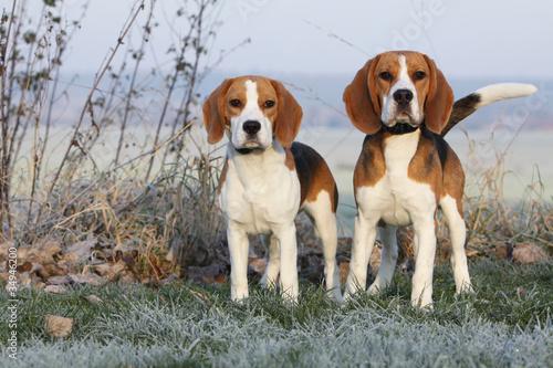 Fotografía  two beautifil beagles