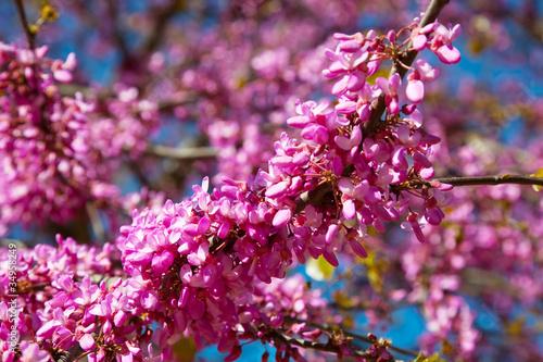 Fototapeta wiosna fioletowe-wiosenne-kwiaty