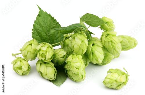 Láminas  Blossoming hop