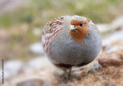Fotografia Kuropatwa (Perdix perdix) Grey Partridge