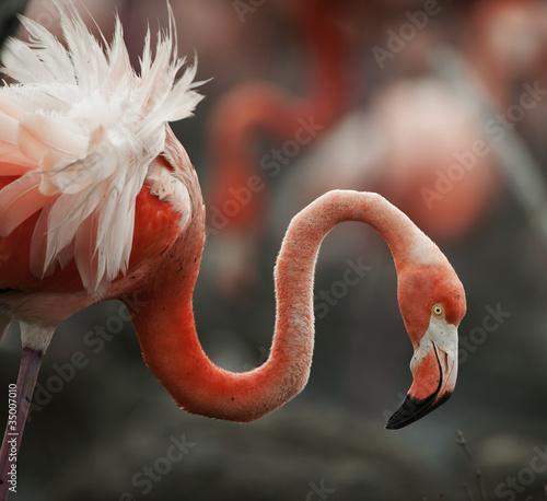 Papiers peints Flamingo Portrait of the American Flamingo.