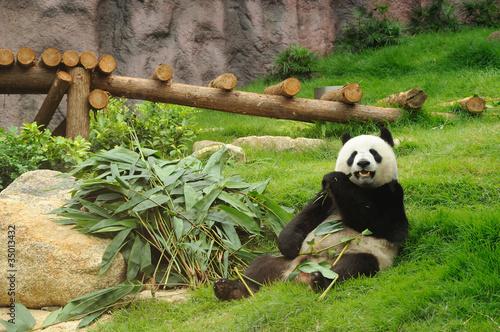 Keuken foto achterwand Panda Giant panda