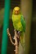 Le lori jaune et vert