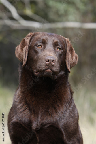 Photo  bbeau portrait de labrador chocolat au regard tendre