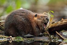 North American Beaver (Castor Canadensis) - Ontario