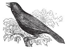 Giant Cowbird Or Molothrus Oryzivorus, Bird, Vintage Engraving.