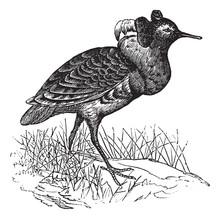 Ruff Or Philomachus Pugnax Vintage Engraving