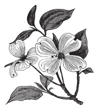 Flowering Dogwood Or Cornus Florida Vintage Engraving