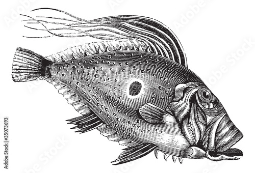 Photo  John Dory or Saint Pierre Fish or Saint Peter Fish or Zeus faber